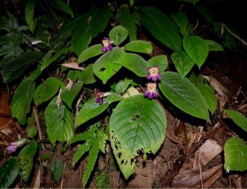 Henckelia collegii-sancti-thomasii: a new species of Henckelia(Gesneriaccae) from Northeastern India